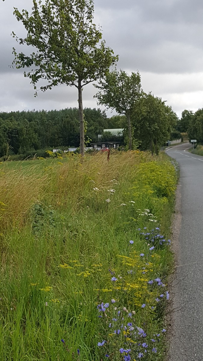 Beautiful roadside wild flowers along a country lane in Denmark