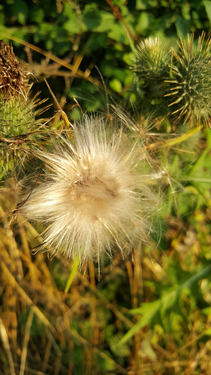 Thistle seedhead in the early evening sunlight of a very fine day in Denmark in the summertime