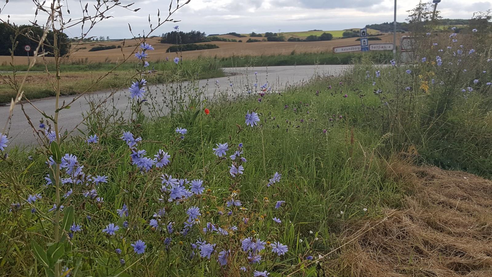 Denmark in bloom! Summertime wildflowers by the roadside