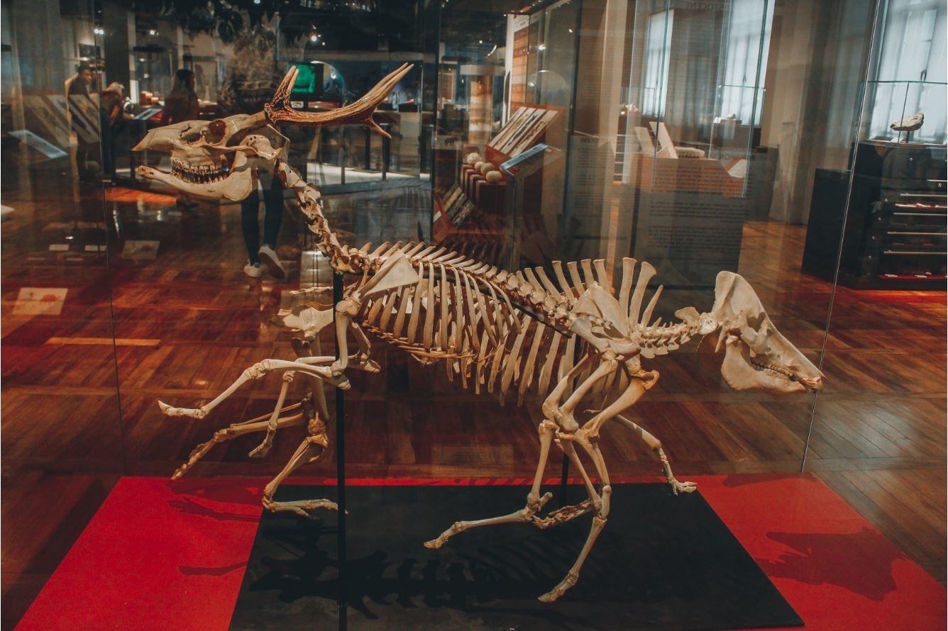 Deer Fossil