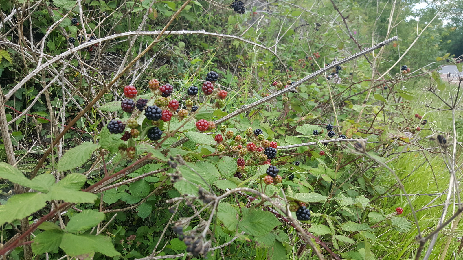 Axbridge By-pass A371 Old Railway Cutting - Blackberries starting to get ripe