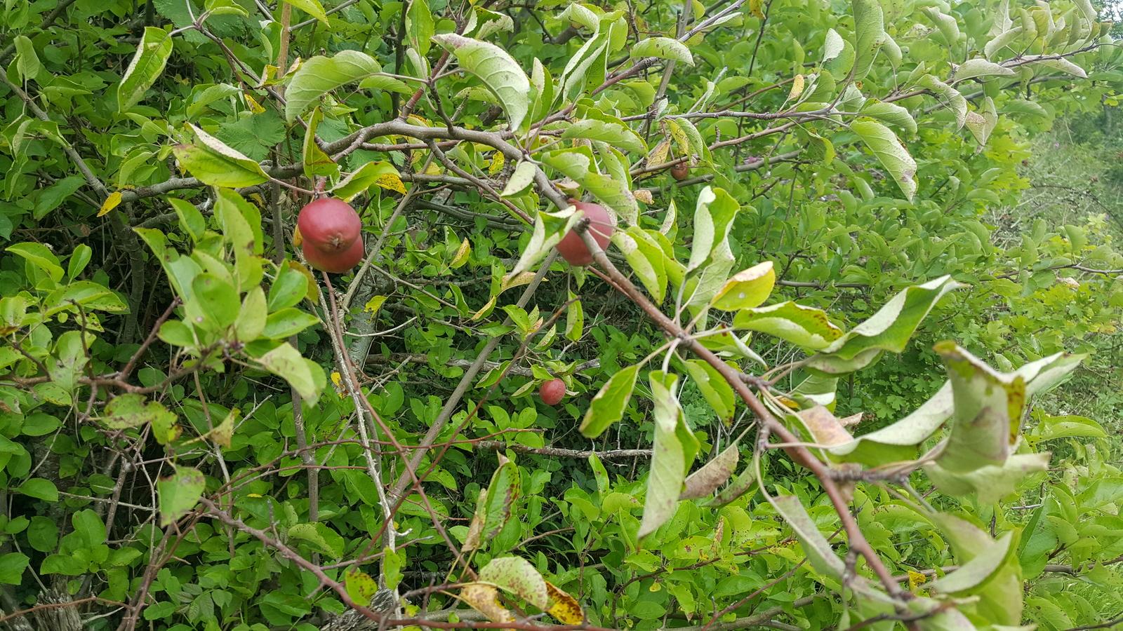Wild Crab Apple Tree along the Axbridge By-pass A371