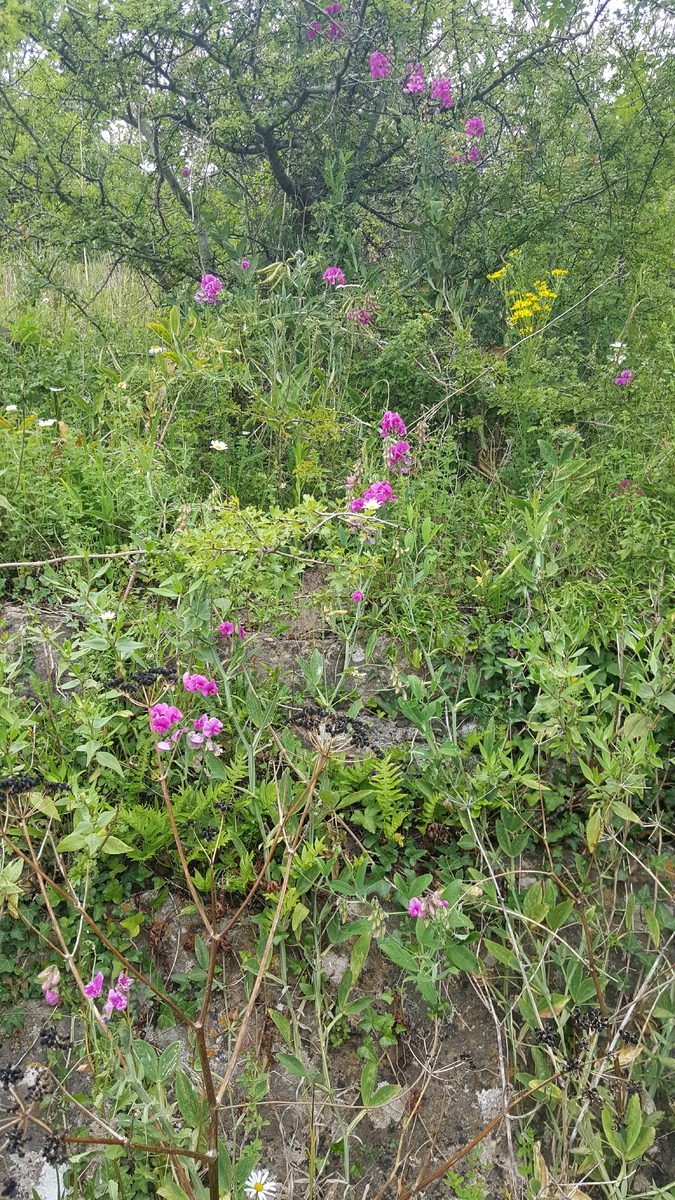 Old Railway Cutting covered in beautiful pink and yellow wildflowers