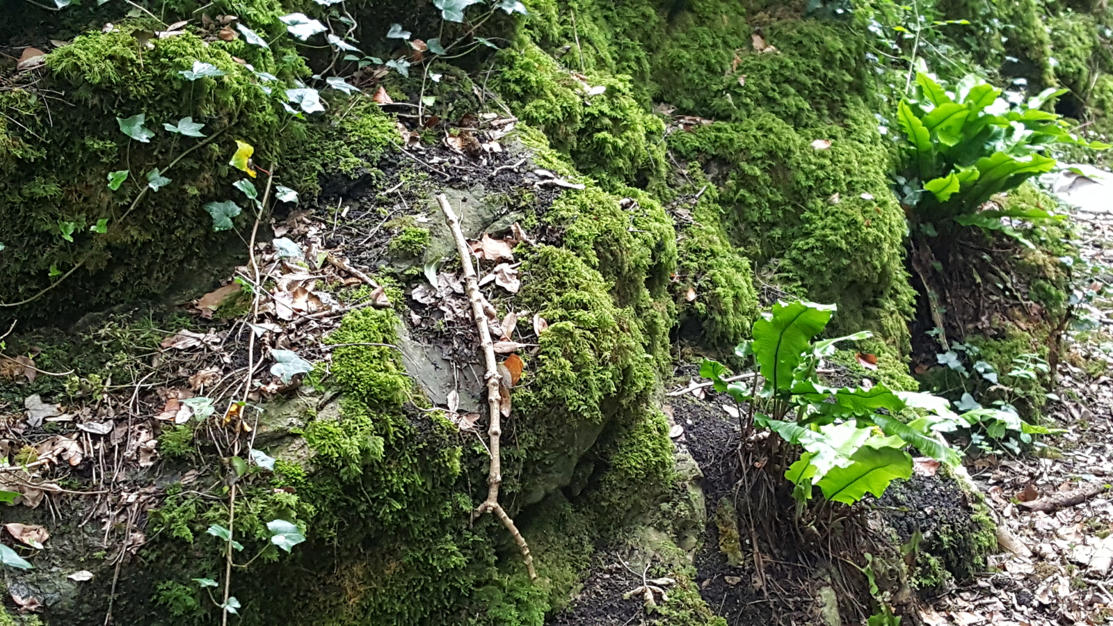 All green! Ivy, various kinds of moss and ferns growing in luscious profusion on a limestone rockface