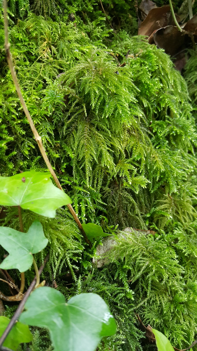 Mosses and Ivy dripping with water outside the Northern end of Shute Shelve Tunnel