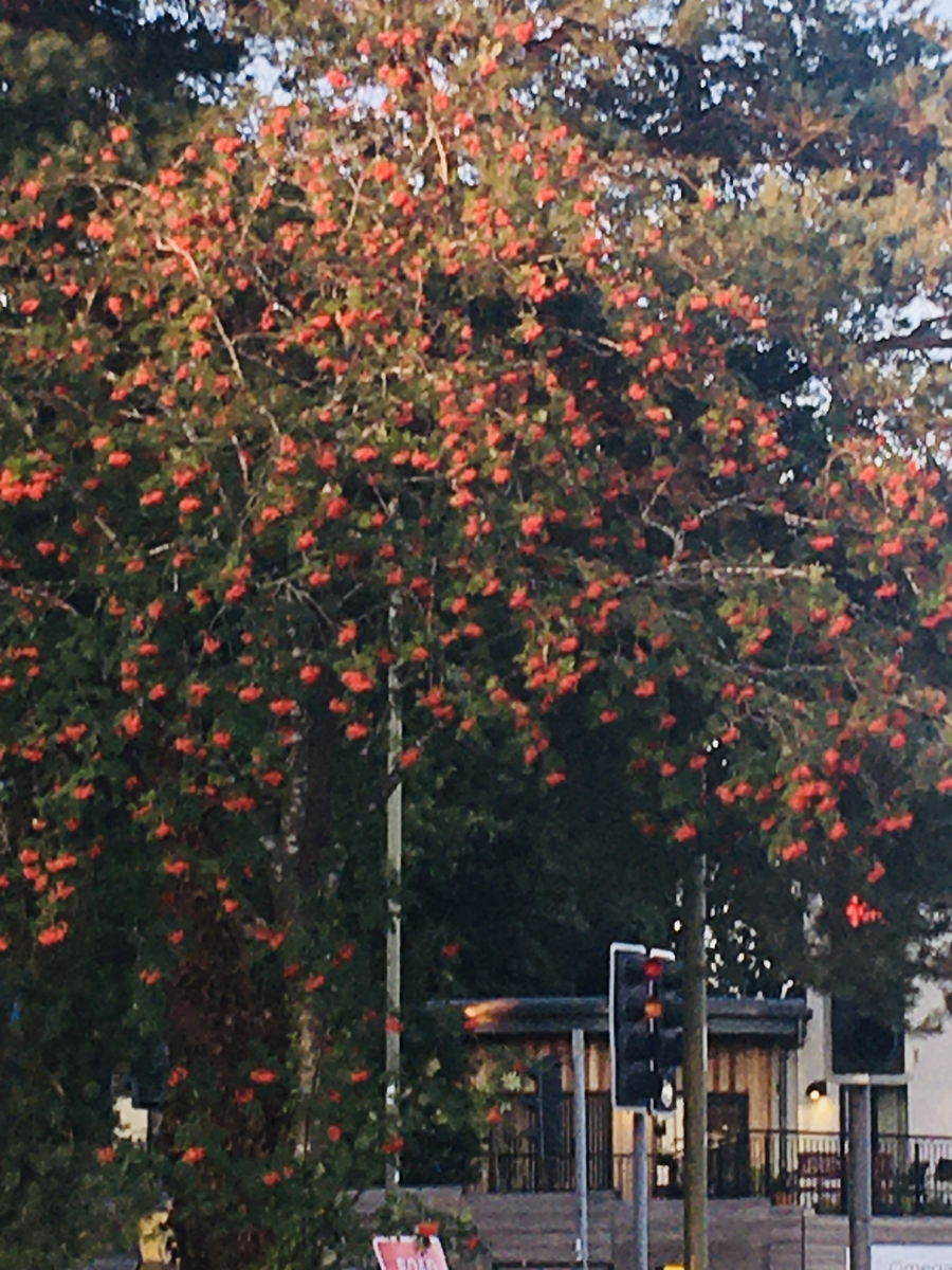 Red Rowan Berries and Red Traffic Lights!