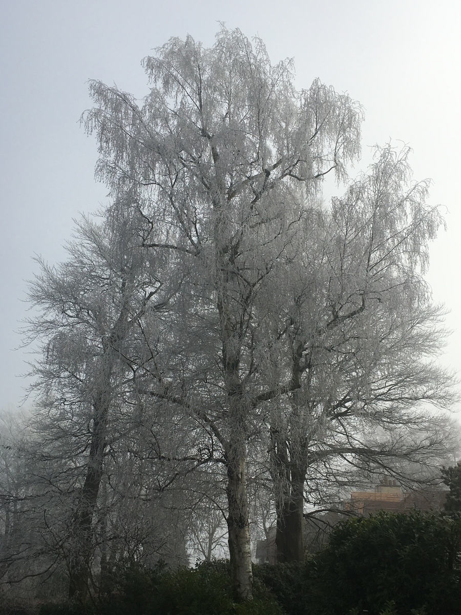 Frost Covered Trees 2