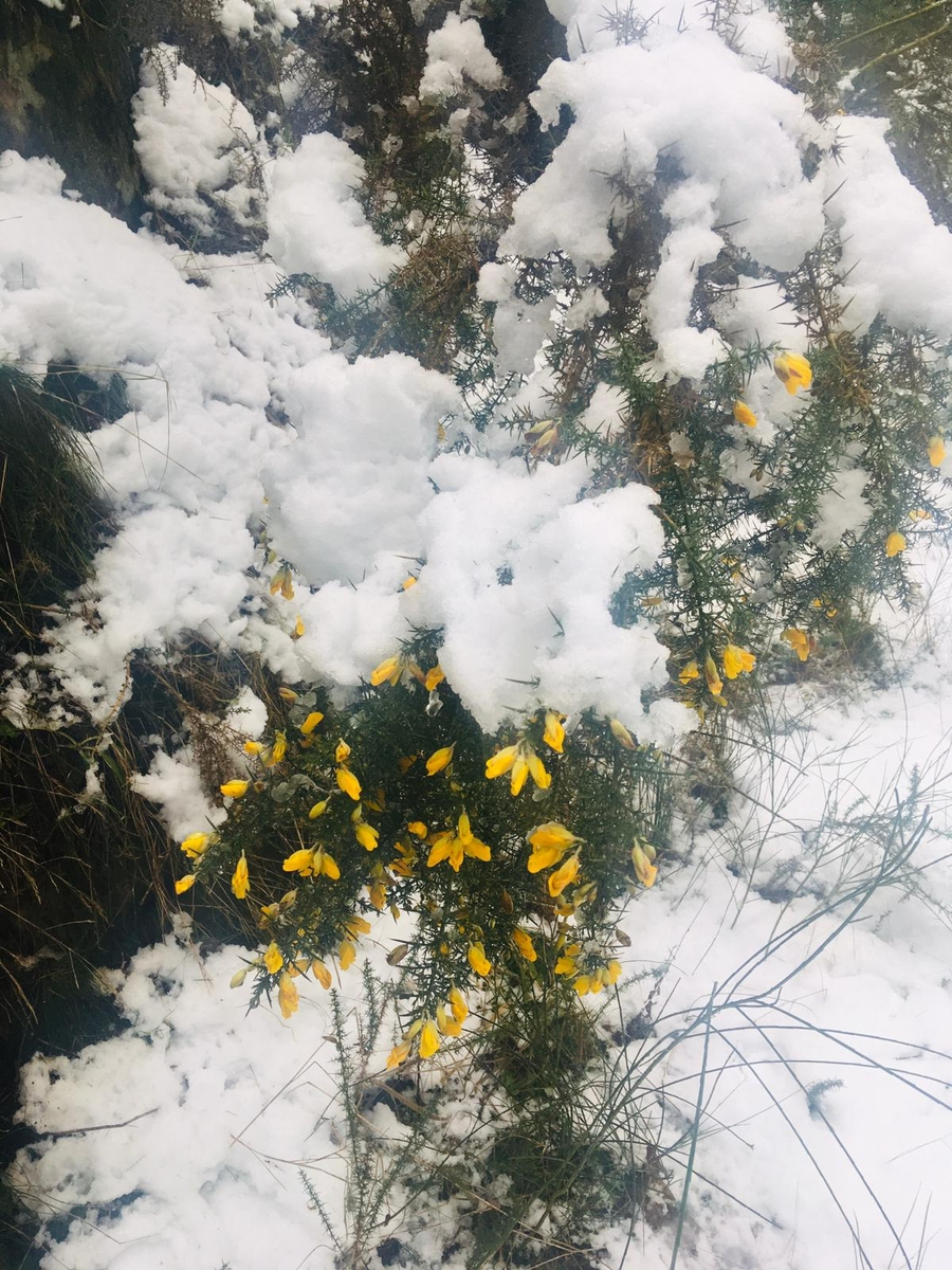Gorse bushes in the Snow