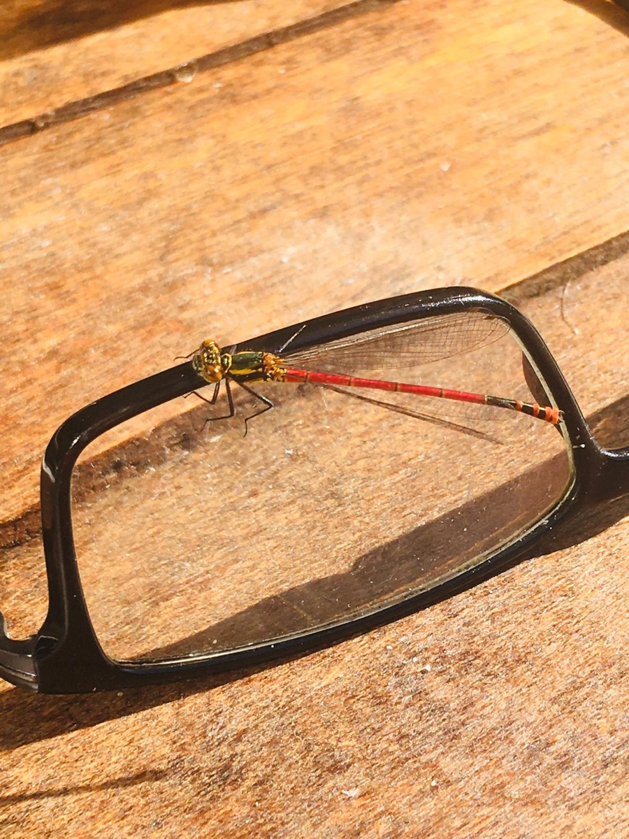 Commom Darter Dragonfly